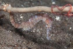 BD-151227-Dauin-0783-Hippocampus-histrix.-Kaup.-1856-[Thorny-seahorse].jpg